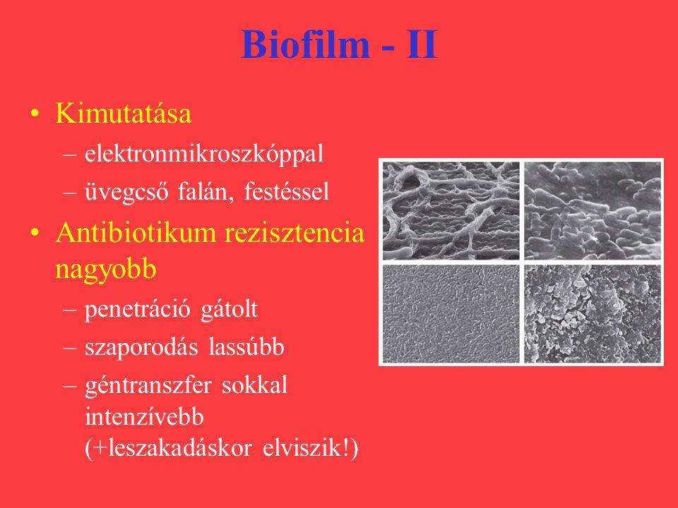 Biofilm - II Kimutatása Antibiotikum rezisztencia nagyobb