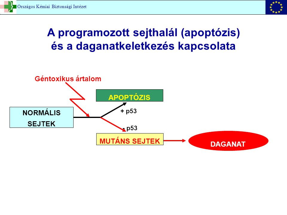 A programozott sejthalál (apoptózis) és a daganatkeletkezés kapcsolata