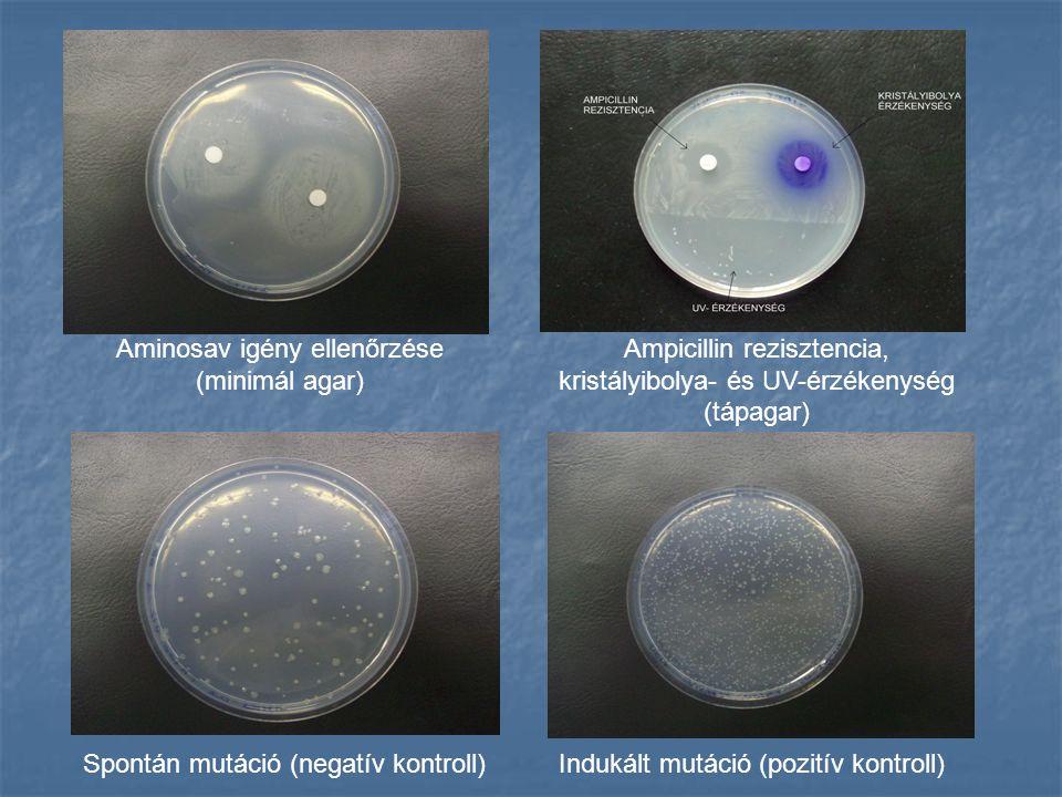 Aminosav igény ellenőrzése (minimál agar) Ampicillin rezisztencia,