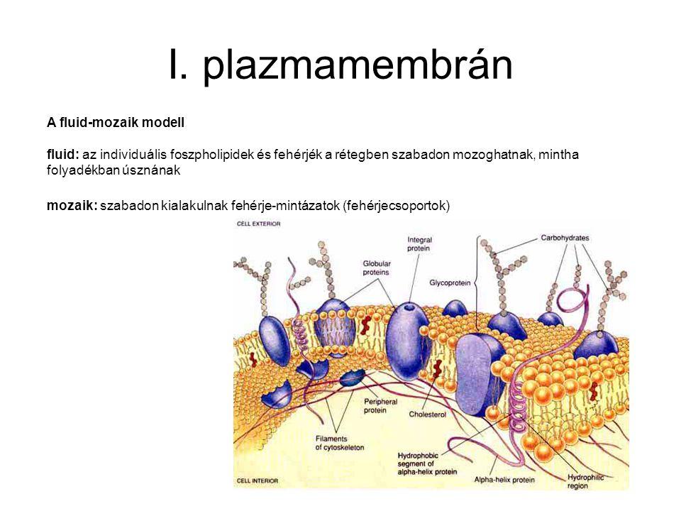 I. plazmamembrán A fluid-mozaik modell