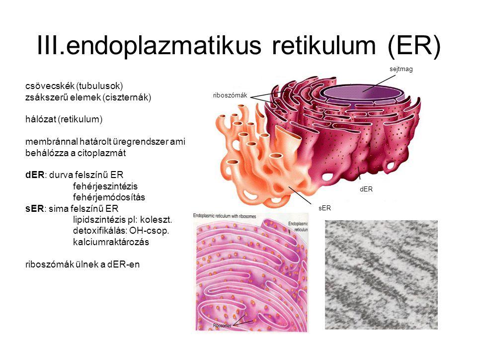 III.endoplazmatikus retikulum (ER)