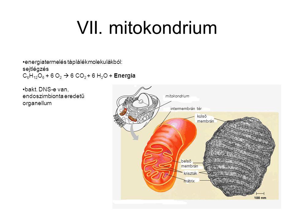 VII. mitokondrium energiatermelés táplálékmolekulákból: sejtlégzés