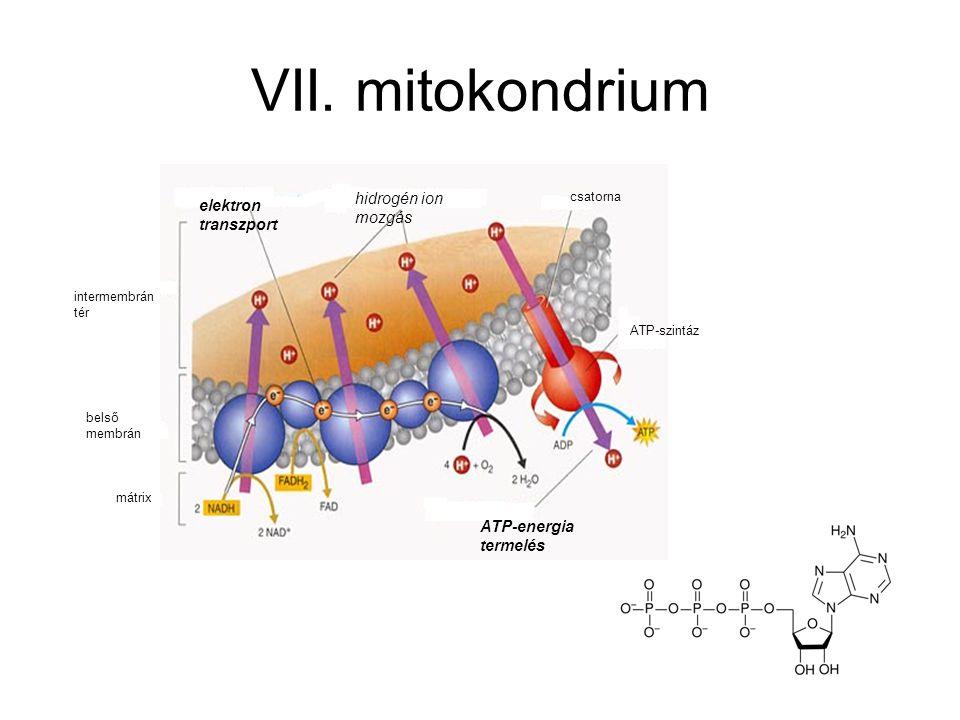 VII. mitokondrium hidrogén ion mozgás elektron transzport