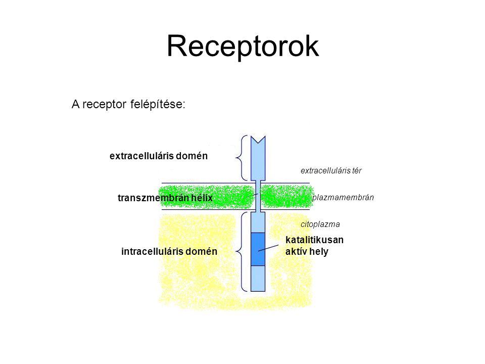 Receptorok A receptor felépítése: extracelluláris domén