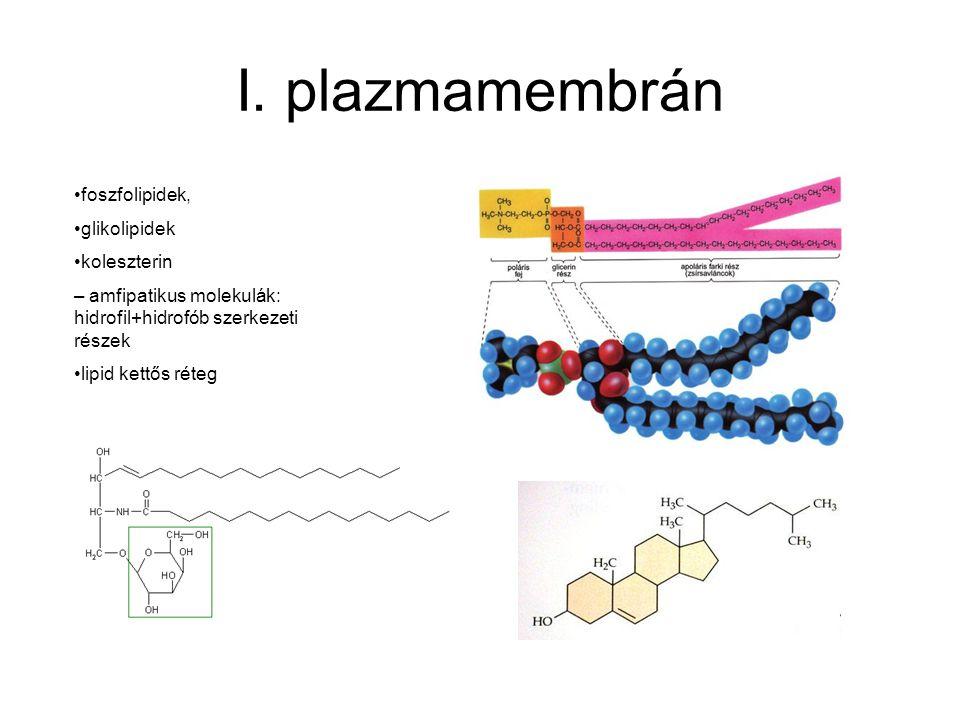 I. plazmamembrán foszfolipidek, glikolipidek koleszterin