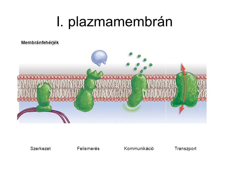 I. plazmamembrán Membránfehérjék Szerkezet Felismerés Kommunikáció