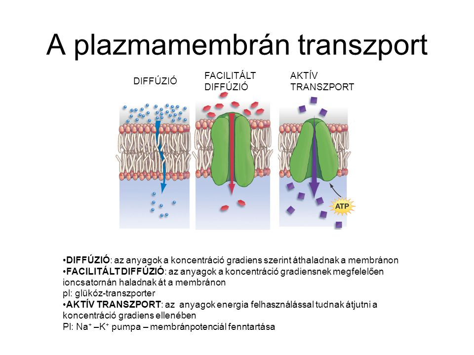 A plazmamembrán transzport