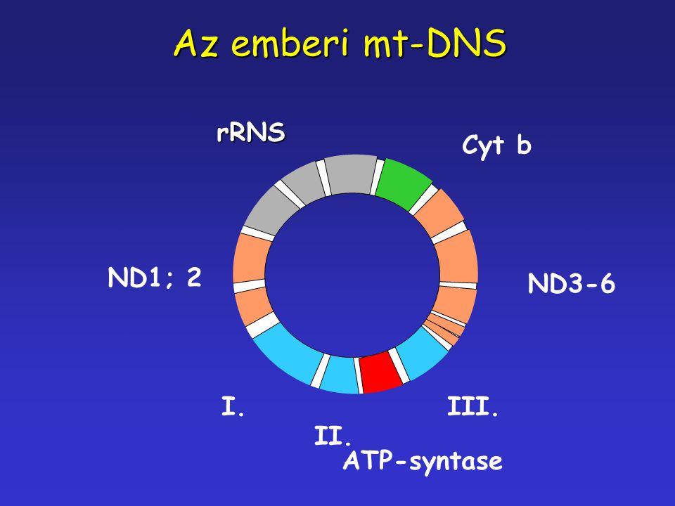 Az emberi mt-DNS rRNS Cyt b ND1; 2 ND3-6 I. III. II. ATP-syntase