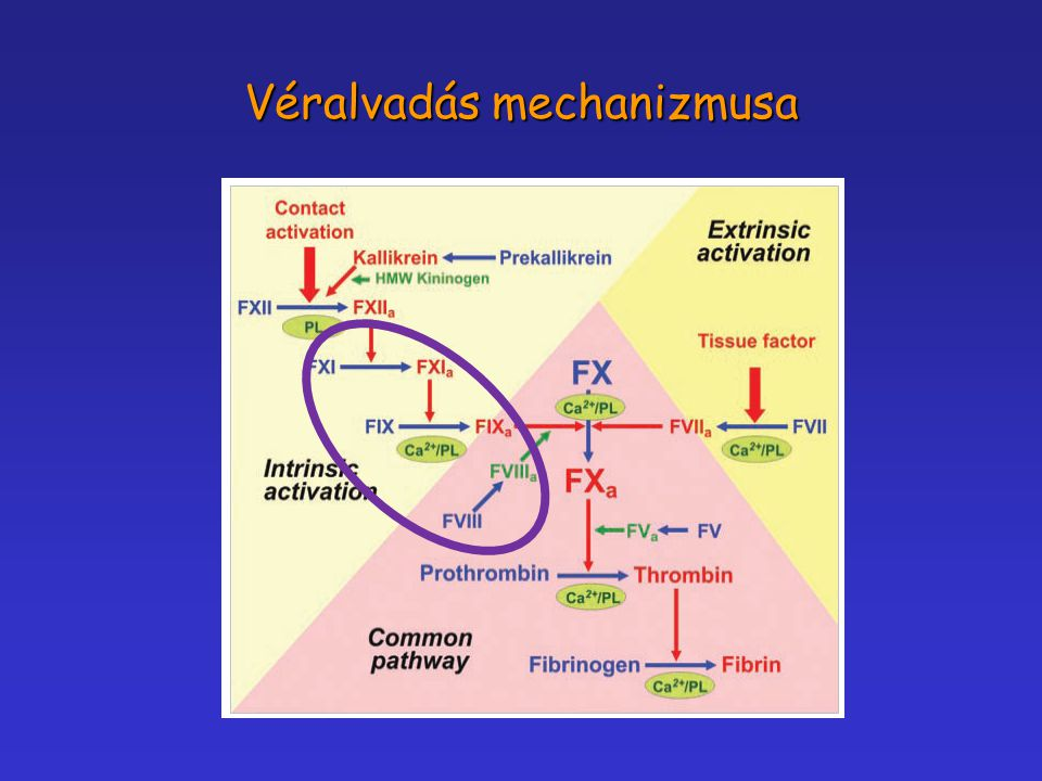 Véralvadás mechanizmusa