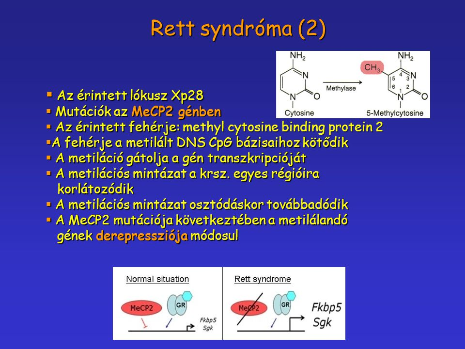 Rett syndróma (2) Az érintett lókusz Xp28 Mutációk az MeCP2 génben