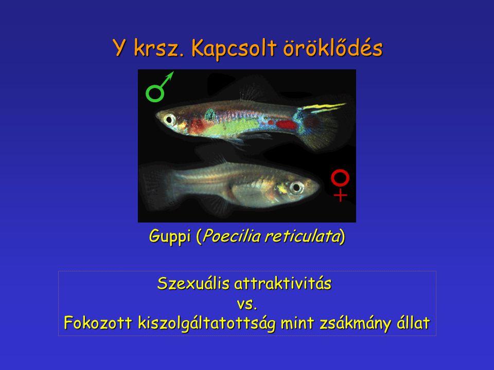 + Y krsz. Kapcsolt öröklődés Guppi (Poecilia reticulata)