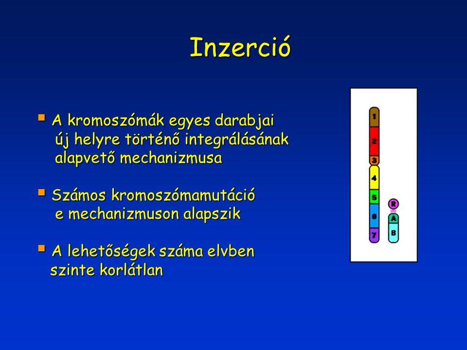 Inzerció A kromoszómák egyes darabjai új helyre történő integrálásának