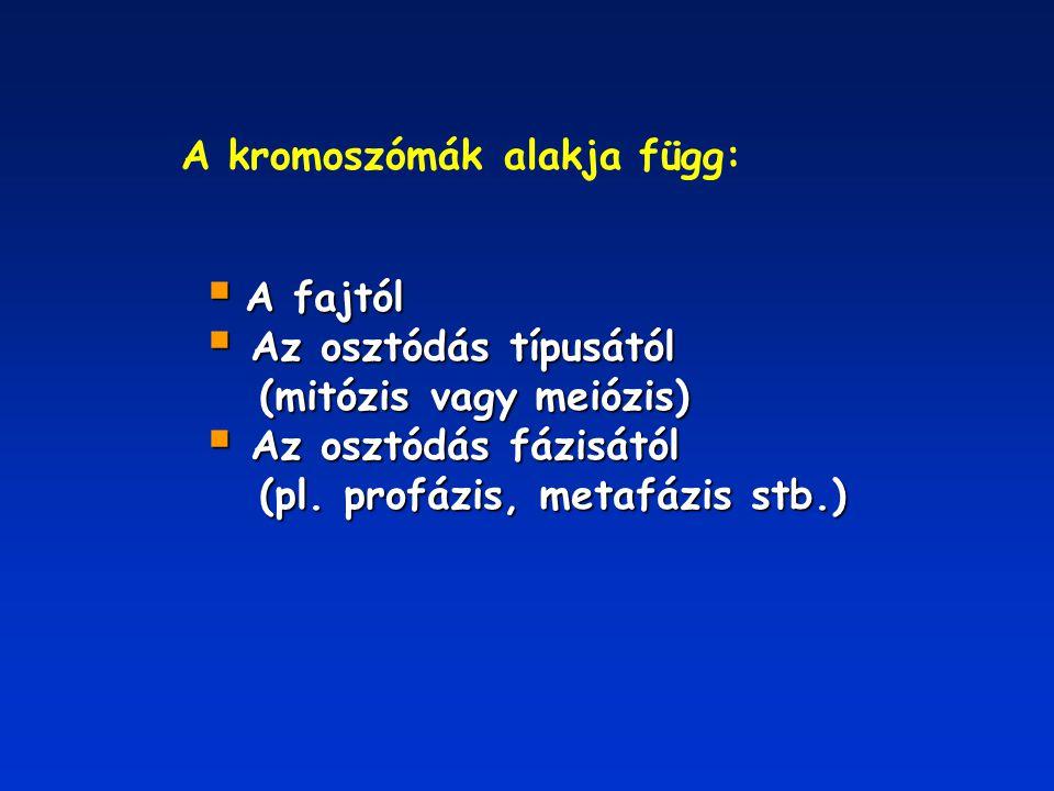 A kromoszómák alakja függ: