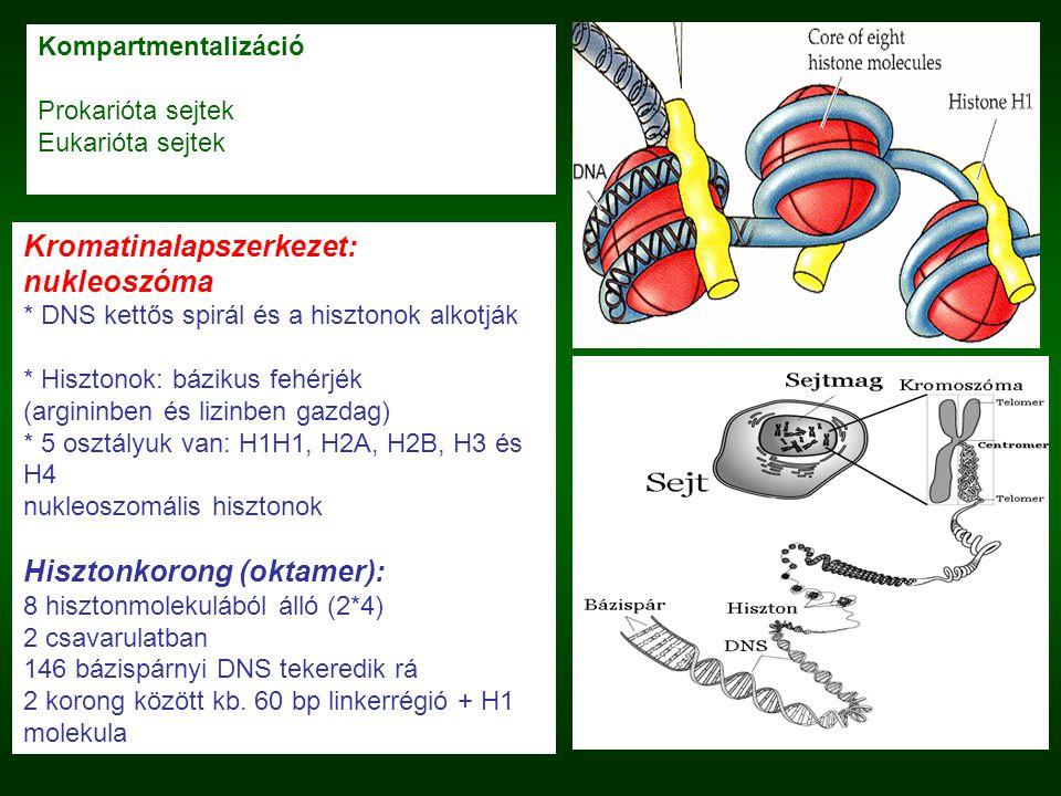 Kromatinalapszerkezet: nukleoszóma