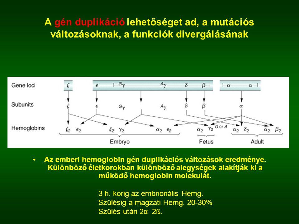 A gén duplikáció lehetőséget ad, a mutációs változásoknak, a funkciók divergálásának
