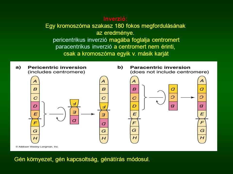 Inverzió: Egy kromoszóma szakasz 180 fokos megfordulásának