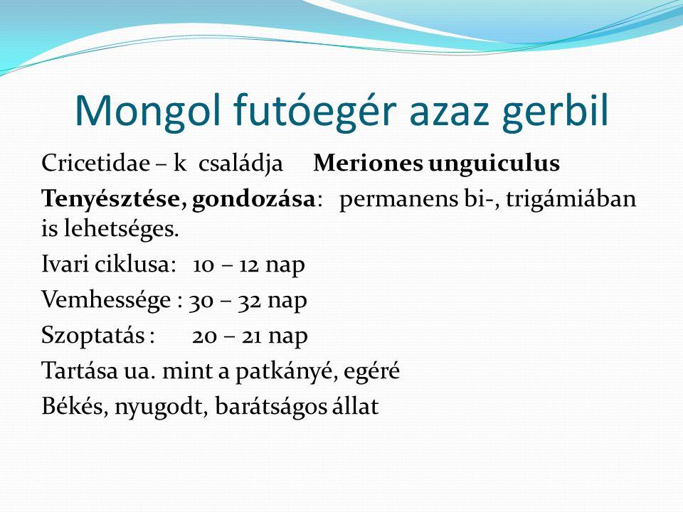 Mongol futóegér azaz gerbil