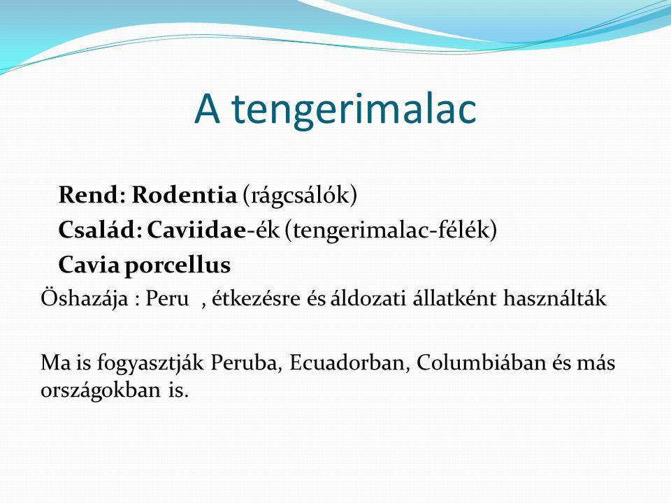 A tengerimalac Rend: Rodentia (rágcsálók)