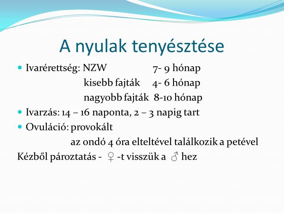 A nyulak tenyésztése Ivarérettség: NZW 7- 9 hónap