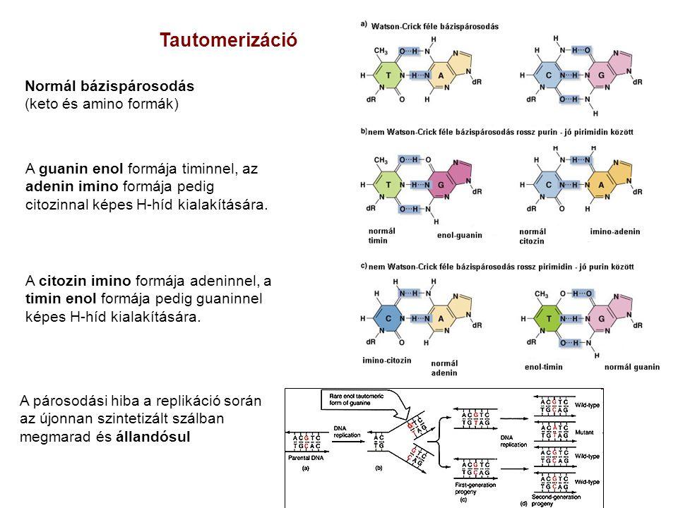 Tautomerizáció Normál bázispárosodás (keto és amino formák)