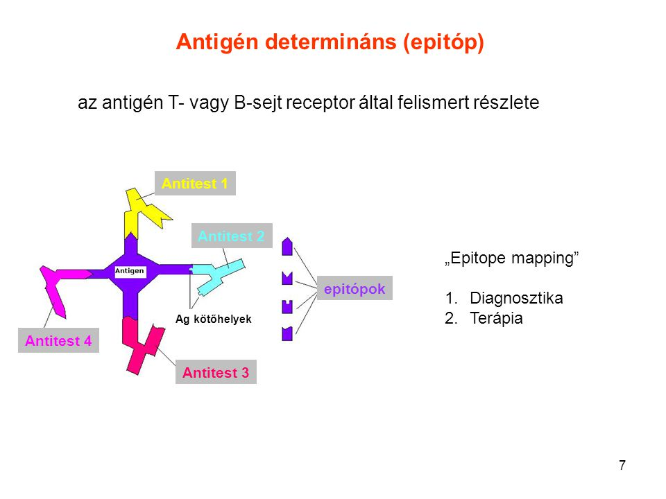 Antigén determináns (epitóp)