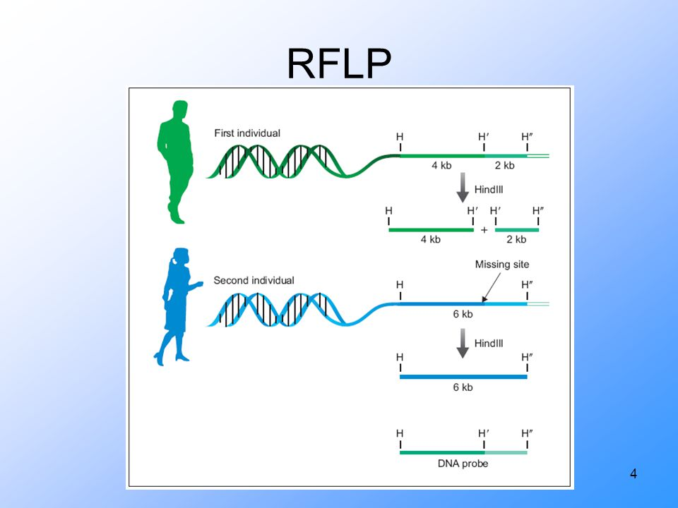 RFLP The DNA probe in this experiment allows the scientist to visualize only the desired DNA bands without.