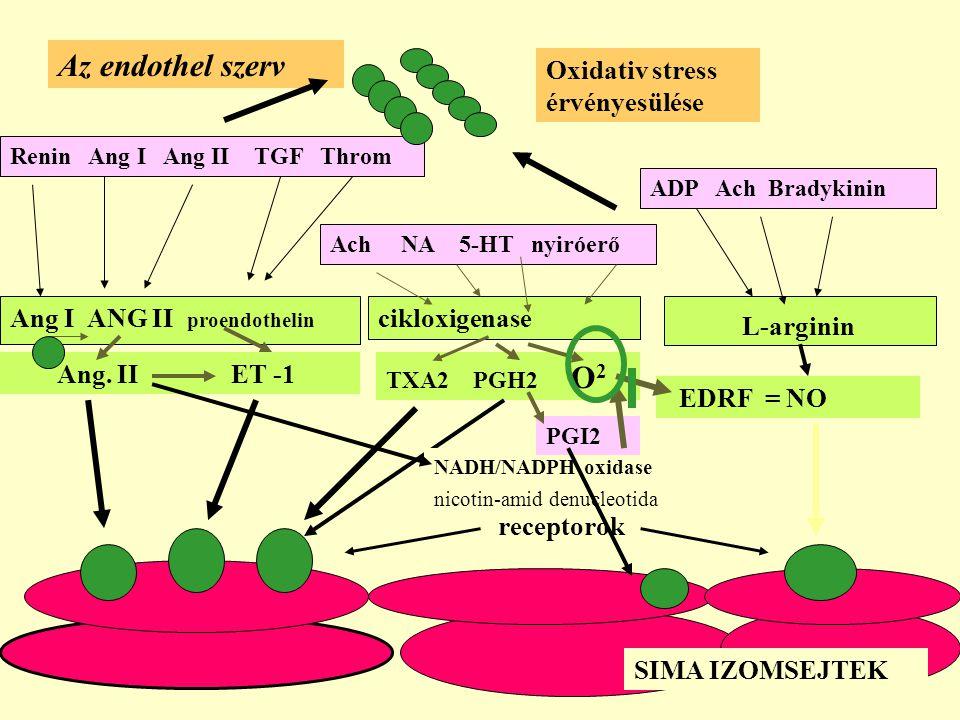 Az endothel szerv Oxidativ stress érvényesülése
