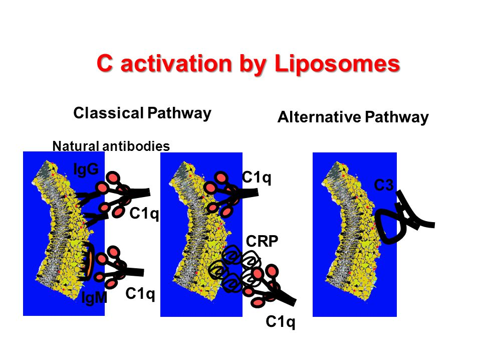 C activation by Liposomes