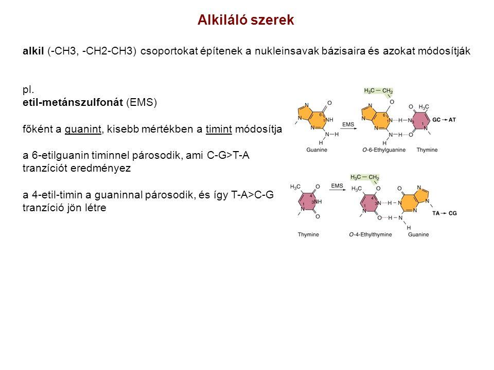 Alkiláló szerek alkil (-CH3, -CH2-CH3) csoportokat építenek a nukleinsavak bázisaira és azokat módosítják.