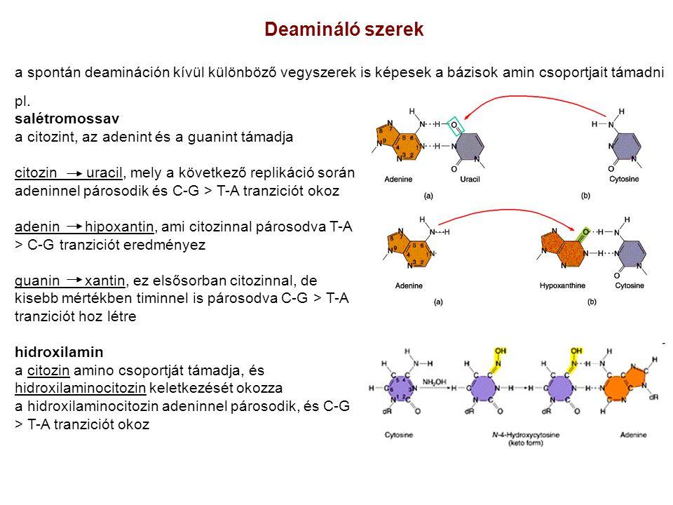 Deamináló szerek a spontán deamináción kívül különböző vegyszerek is képesek a bázisok amin csoportjait támadni.