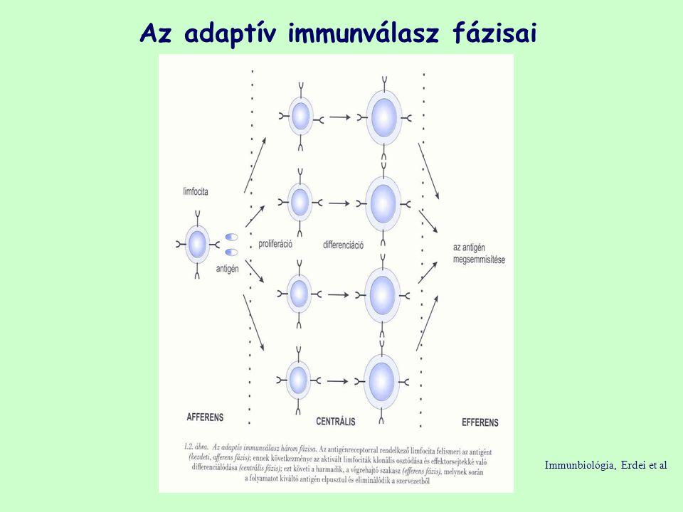 Az adaptív immunválasz fázisai