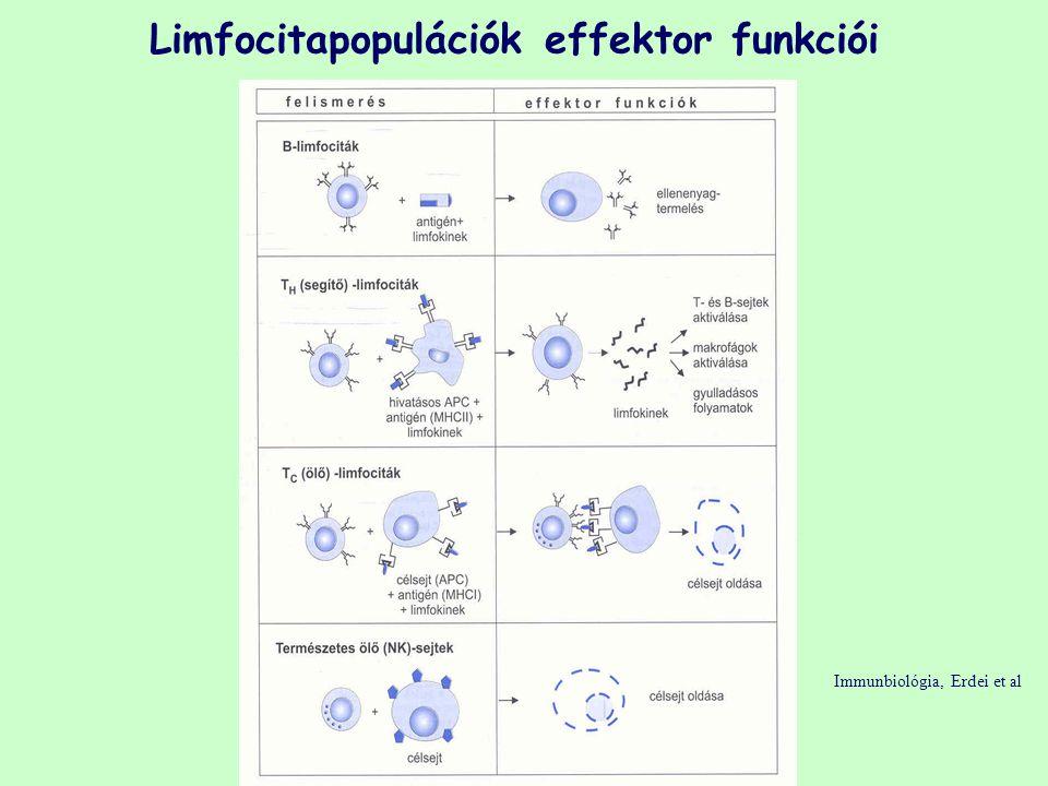 Limfocitapopulációk effektor funkciói