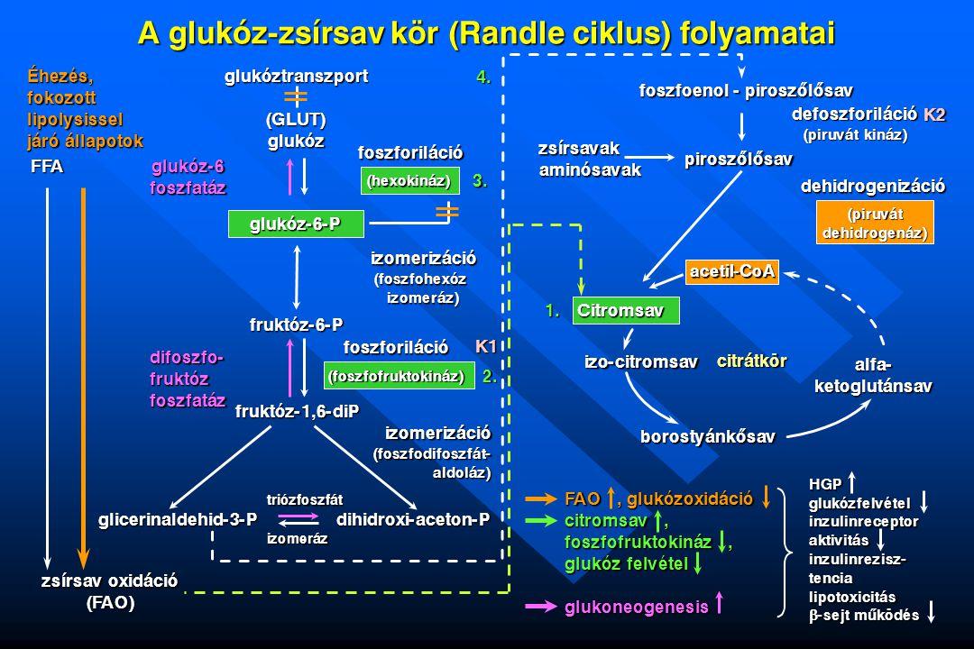 A glukóz-zsírsav kör (Randle ciklus) folyamatai