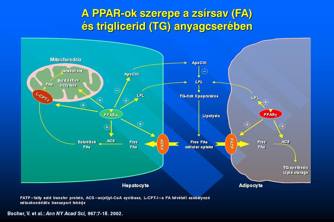 A PPAR-ok szerepe a zsírsav (FA) és triglicerid (TG) anyagcserében