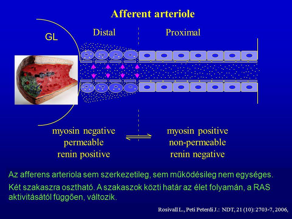 Afferent arteriole GL myosin negative permeable renin positive