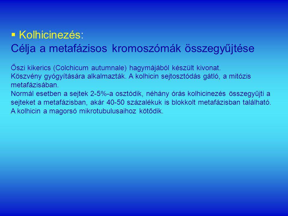 Célja a metafázisos kromoszómák összegyűjtése