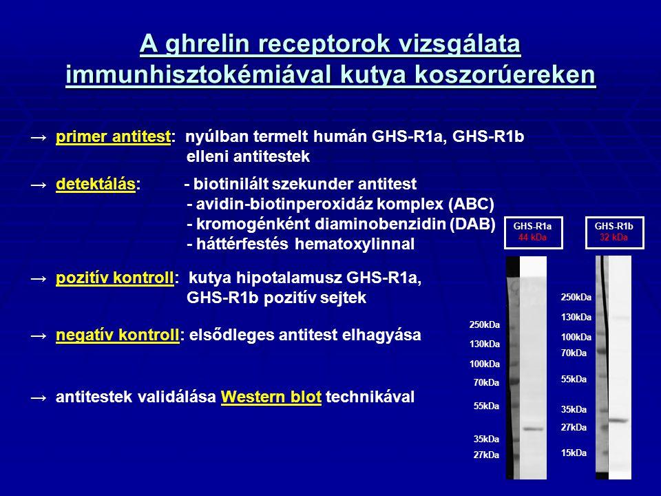 A ghrelin receptorok vizsgálata immunhisztokémiával kutya koszorúereken