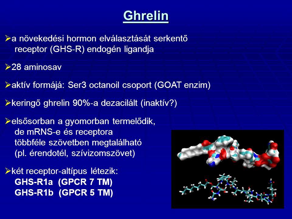 Ghrelin a növekedési hormon elválasztását serkentő receptor (GHS-R) endogén ligandja. 28 aminosav.