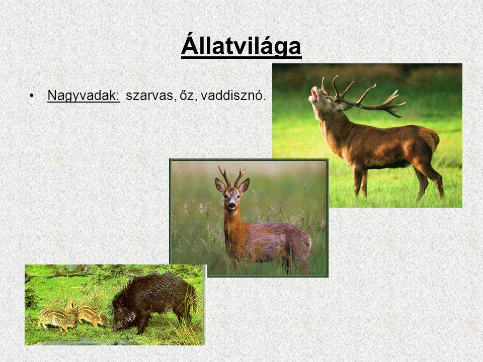 Állatvilága Nagyvadak: szarvas, őz, vaddisznó.
