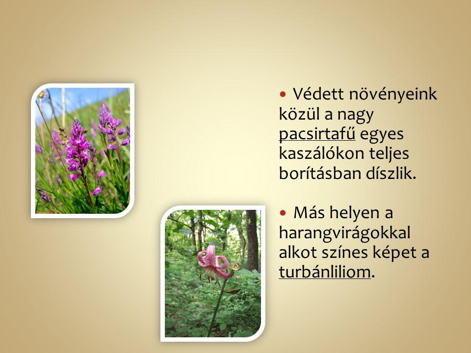 Védett növényeink közül a nagy pacsirtafű egyes kaszálókon teljes borításban díszlik.