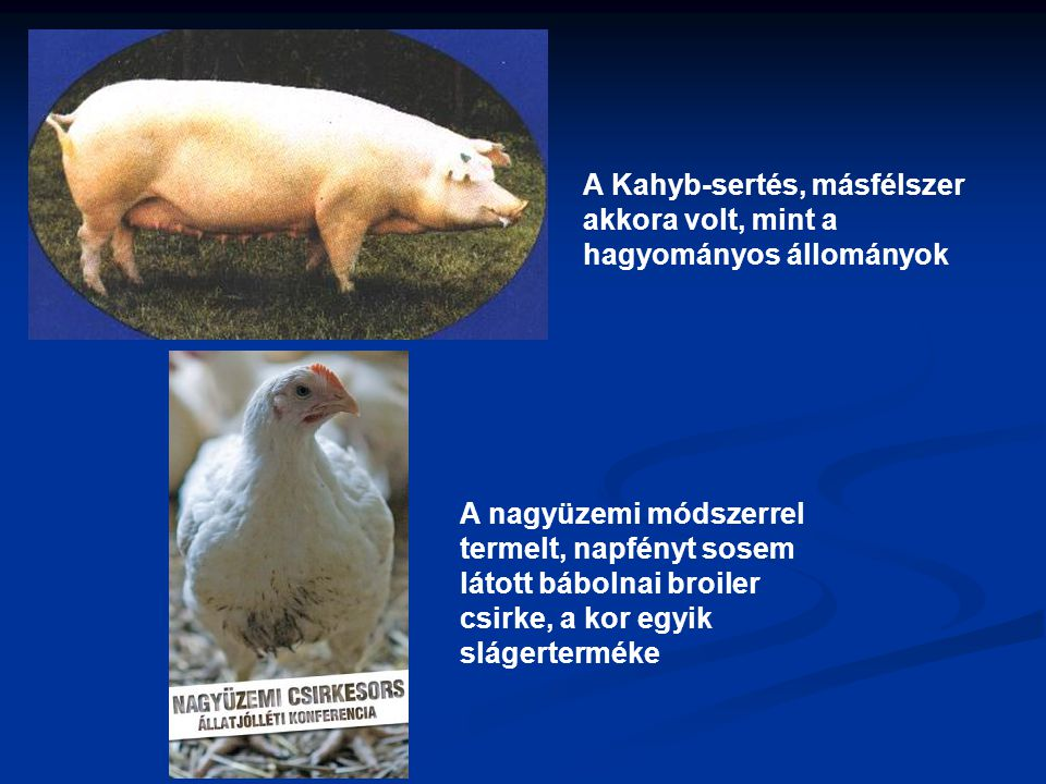 A Kahyb-sertés, másfélszer akkora volt, mint a hagyományos állományok