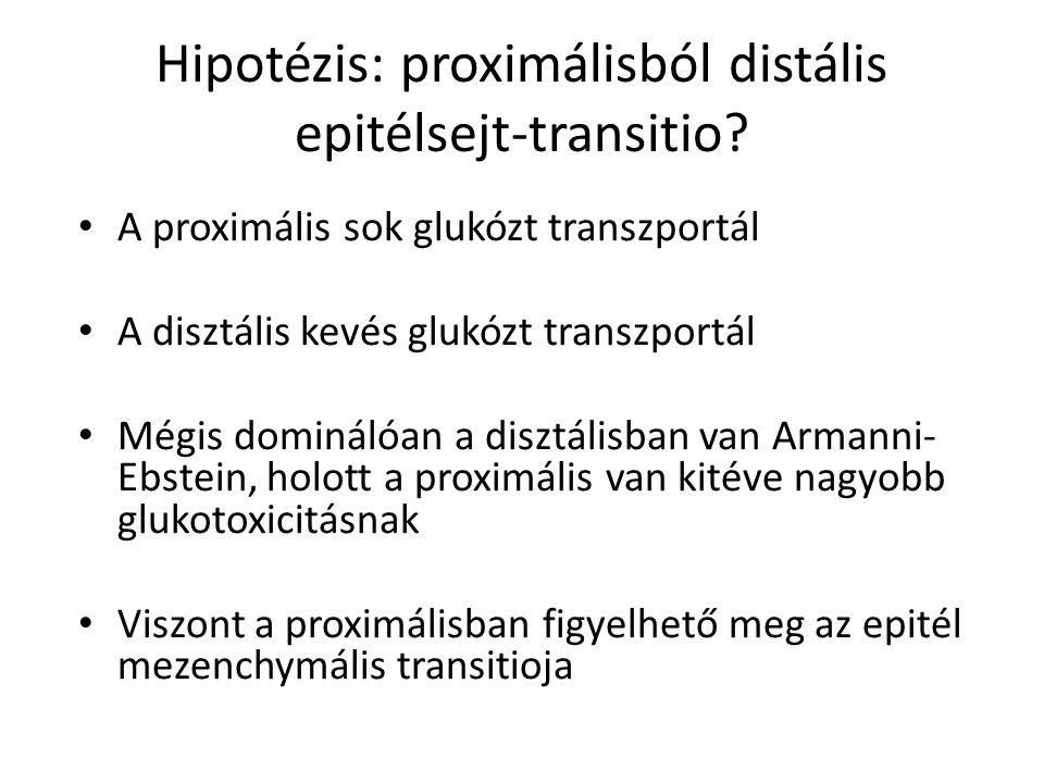 Hipotézis: proximálisból distális epitélsejt-transitio
