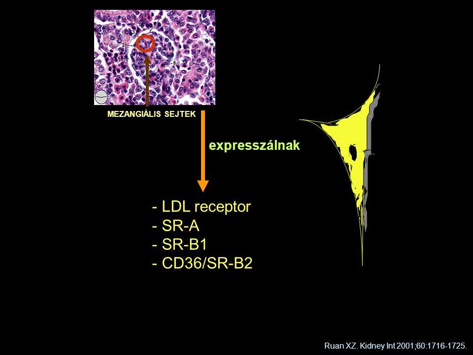 LDL receptor SR-A SR-B1 CD36/SR-B2 expresszálnak MEZANGIÁLIS SEJTEK