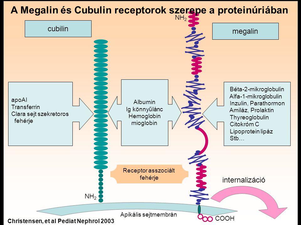 A Megalin és Cubulin receptorok szerepe a proteinúriában