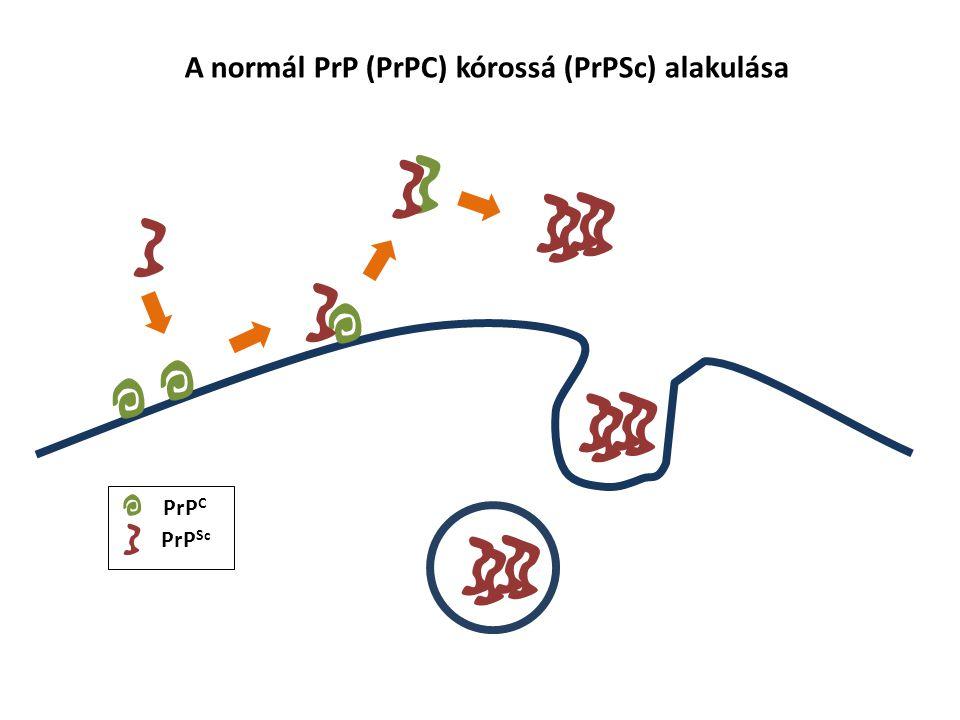 A normál PrP (PrPC) kórossá (PrPSc) alakulása