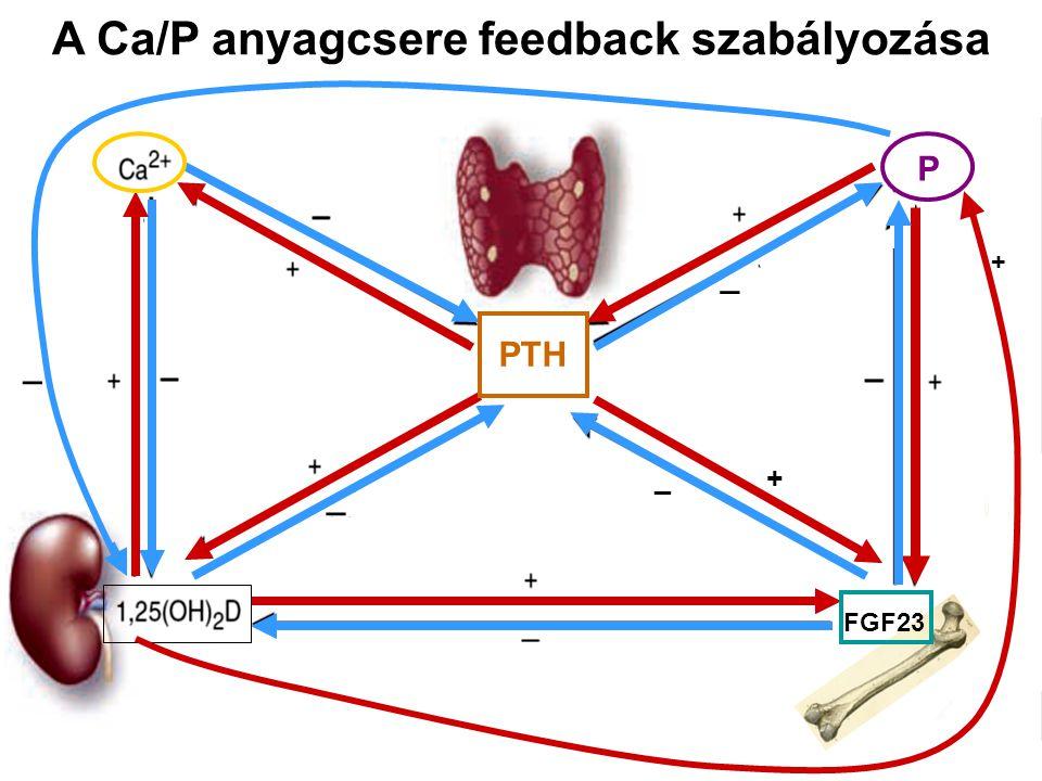A Ca/P anyagcsere feedback szabályozása