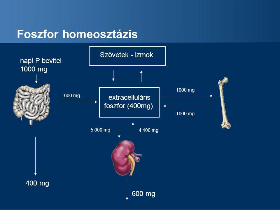 Foszfor homeosztázis Szövetek - izmok napi P bevitel 1000 mg