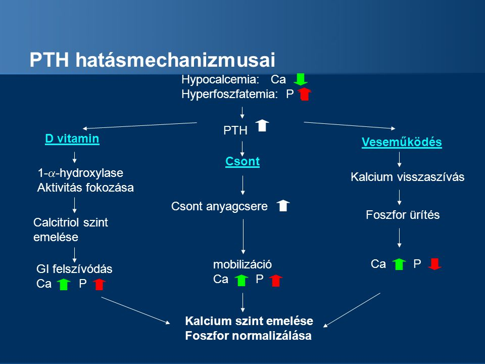 PTH hatásmechanizmusai