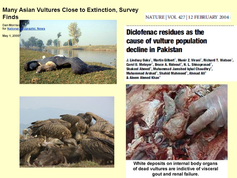 Many Asian Vultures Close to Extinction, Survey Finds