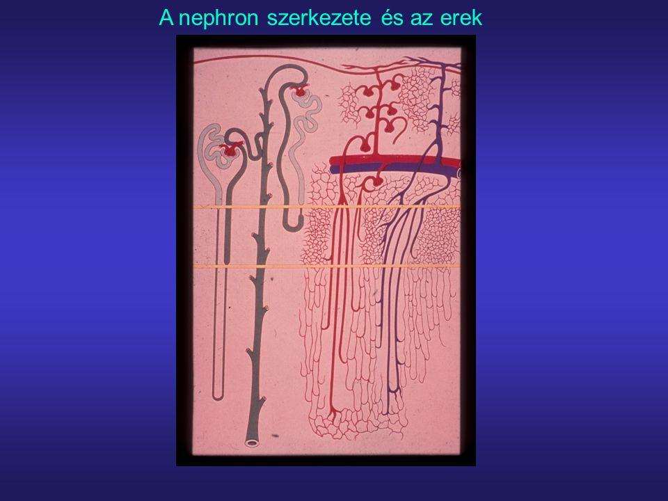 A nephron szerkezete és az erek
